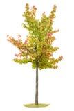 Giovani foglie verdi autunnali di rosso di giallo dell'albero di acero Immagine Stock Libera da Diritti