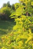 Giovani foglie verdi con la luce solare Sfondo naturale Bokeh Fotografie Stock