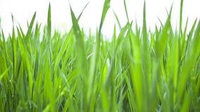Giovani foglie verdi del grano, giacimento agricolo della molla video d archivio