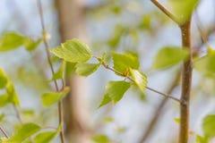 Giovani foglie verdi del ramo Immagine Stock