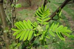 Giovani foglie verdi dell'albero Fotografia Stock