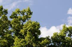 Giovani foglie verdi della bella foresta della primavera delle querce contro gli aumenti luminosi del cielo blu e del sole della  Fotografie Stock Libere da Diritti