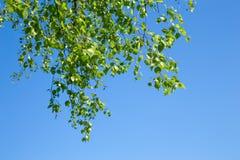Giovani foglie verdi della betulla Immagini Stock Libere da Diritti
