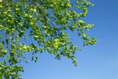 Giovani foglie verdi della betulla Fotografia Stock Libera da Diritti