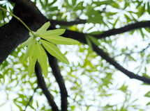 Giovani foglie verdi della pianta tropicale, Dita, legno di Shaitan, albero di diavolo, scholaris L R di Alstonia BR Fotografia Stock Libera da Diritti