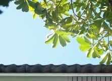 Giovani foglie verdi della pianta tropicale, Dita, legno di Shaitan, albero di diavolo, scholaris L R di Alstonia BR Immagine Stock
