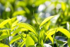 Giovani foglie verdi e germoglio di foglia dell'albero del tè sulla piantagione in Nuwara Eliya, Sri Lanka Fotografie Stock