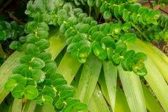 Giovani foglie verdi fresche del germoglio della pianta di Natal Plum con le gocce di rugiada dell'acqua che si spargono sul fond immagini stock libere da diritti
