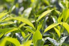 Giovani foglie verdi & germoglio di foglia dell'albero del tè sulla piantagione in Nuwara Eliya, Sri Lanka Fotografie Stock