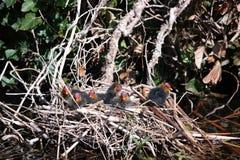 Giovani folaghe del nido sei Fotografia Stock