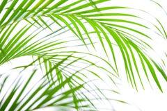 Giovani fronde della palma Fotografie Stock Libere da Diritti
