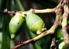 Giovani frutti della palma nel verde Fotografia Stock