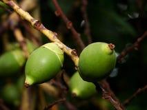Giovani frutti della palma nel verde Immagini Stock Libere da Diritti