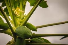 Giovani frutti verdi della papaia sulla cima d'albero Papaia verde cruda organica o Fotografia Stock Libera da Diritti