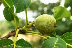 Giovani frutti verdi freschi della noce su un ramo di albero con le foglie fotografia stock