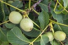 Giovani frutti verdi freschi della noce su un ramo di albero con le foglie immagini stock libere da diritti