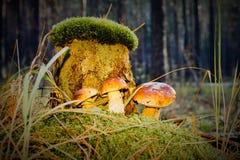 Giovani funghi del boletus Immagini Stock Libere da Diritti