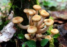 Giovani funghi dell'agarico del miele di autunno Fotografia Stock Libera da Diritti