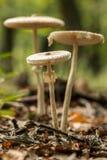 Giovani funghi di parasole Fotografie Stock
