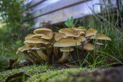 Giovani funghi freschi - agarichi del miele nell'erba fotografie stock
