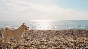 Giovani funzionamenti dell'insegnante con il cucciolo bianco adorabile di inu di shiba sul movimento lento della spiaggia archivi video