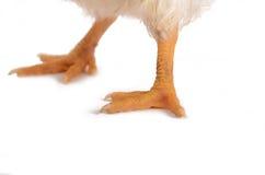 Gambe ed artigli del pulcino Fotografia Stock