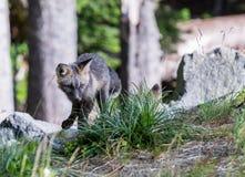 Giovani gambi di Fox rosso della cascata Immagini Stock