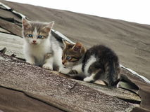 Giovani gattini selvaggi timidi inesperti sul tetto di vecchio granaio rustico Una coppia i piccoli gatti senza tetto pietosi Fotografie Stock Libere da Diritti