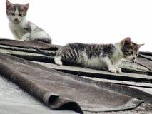 Giovani gattini selvaggi timidi inesperti sul tetto di vecchio granaio rustico Una coppia i piccoli gatti senza tetto pietosi Immagine Stock Libera da Diritti