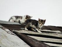 Giovani gattini selvaggi timidi inesperti sul tetto di vecchio granaio rustico Una coppia i piccoli gatti senza tetto pietosi Fotografia Stock Libera da Diritti