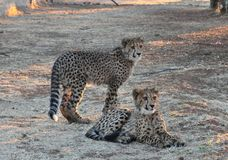 Giovani gemelli del ghepardo fotografia stock