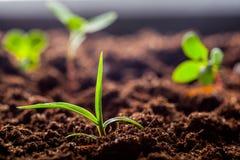 Giovani germogli crescenti della piantina del cereale verde Immagine Stock
