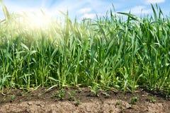 Giovani germogli del primo piano del giacimento di grano e del sole, terra luminosa della molla Fotografia Stock