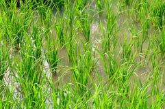 Giovani germogli del riso Immagini Stock