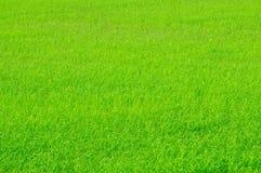 Giovani germogli del riso Immagine Stock