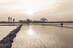 Giovani germogli del riso pronti alla crescita nel giacimento del riso a Hanoi, Immagine Stock Libera da Diritti
