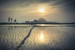 Giovani germogli del riso pronti alla crescita nel giacimento del riso a Hanoi, Immagini Stock Libere da Diritti