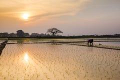 Giovani germogli del riso pronti alla crescita nel giacimento del riso a Hanoi, Fotografia Stock Libera da Diritti