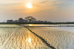 Giovani germogli del riso pronti alla crescita nel giacimento del riso a Hanoi, Fotografie Stock
