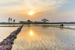 Giovani germogli del riso pronti alla crescita nel giacimento del riso a Hanoi, Fotografie Stock Libere da Diritti