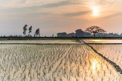 Giovani germogli del riso pronti alla crescita nel giacimento del riso a Hanoi, Immagini Stock