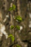 Giovani germogli della betulla Fotografie Stock