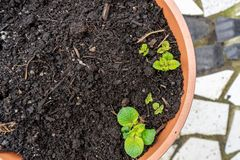 Giovani germogli della patata che crescono da un giardino della piantatrice del contenitore, su un patio Foglie dei fiori della p immagine stock libera da diritti