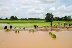 Giovani germogli ed agricoltura del riso appiccicoso Immagini Stock