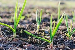 Giovani germogli verdi di aglio nel giardino nel giorno soleggiato di primavera fotografia stock libera da diritti