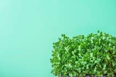 Giovani germogli verdi freschi di crescione acquatico conservato in vaso sul fondo pastello del turchese Contorno di giardinaggio immagine stock libera da diritti