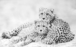 Giovani ghepardi Fotografia Stock