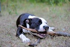 Giovani giochi del cane con il bastone Fotografia Stock Libera da Diritti