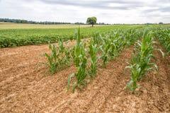 Giovani girasoli e raccolti di cereale precoce Immagine Stock Libera da Diritti