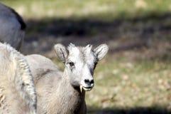 Giovani grandi pecore del corno Fotografia Stock Libera da Diritti